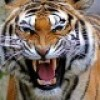 Indian man kills tiger to increase Masculine Power