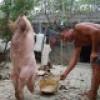 Chinese Pig Zhu Jianqiang walking on two legs