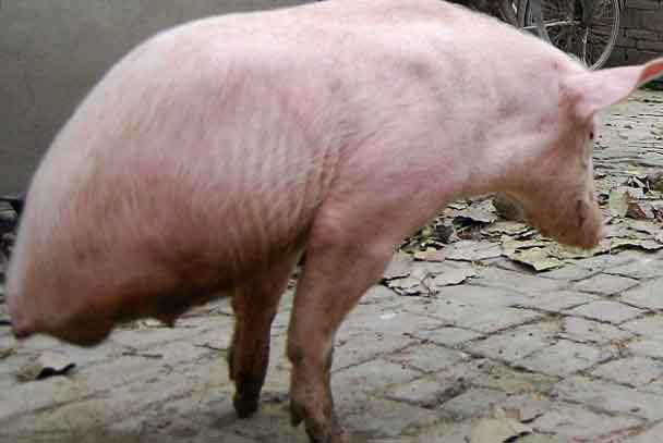 Two legged Pig