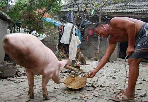 Chinese Pig Zhu Jianqiang