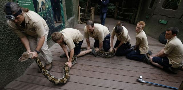 The lucky python, who gets a health checkup