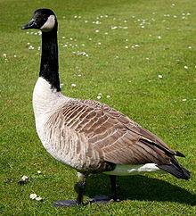 220px-Canada_goose