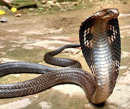 King Cobra Snake-04